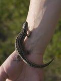 Lizard on hand Stock Photography