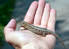 Lizard on hand Royalty Free Stock Photography