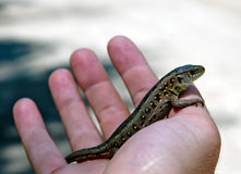 Lizard on hand Stock Photos