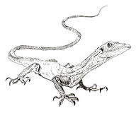 Lizard, hand painted drawing of outline Stock Image