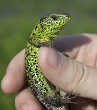 Lizard in the hand. A small Lizard in the hand Royalty Free Stock Photography