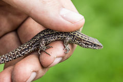 Lizard in hands of the person, small reptile. royalty free stock photography