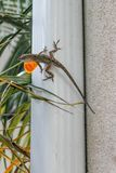 Lizard on drain pipe with throat sticking out. A lizard hanging out on a gutter downspout has its orange dewlap sticking out in hopes of attracting a mate Royalty Free Stock Photos