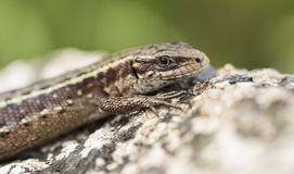 Lizard. Hanging out on a summer warming rock Stock Image