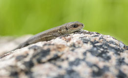 Lizard. Hanging out on a summer warming rock Stock Photography