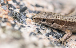Lizard. Hanging out on a summer warming rock Royalty Free Stock Image