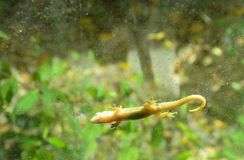 Lizard hanging still for sunbathe on glass door with garden background Royalty Free Stock Image