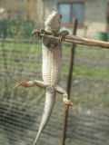 Lizard hangs on a thin stick. Lizard with protruding fingers hanging on a dead branch Royalty Free Stock Images