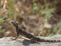 Lizard hardun Stock Image