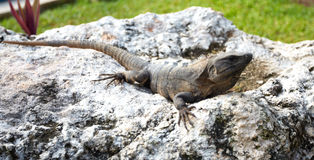 Lizard having a sunbath. Stock Photos