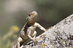 Lizard having sunshine on rock Royalty Free Stock Photography