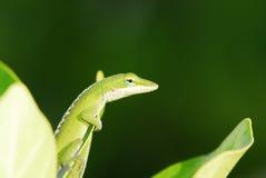 lizard in Hawaii royalty free stock photo