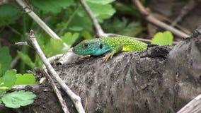 Lizard HD stock footage