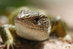 Lizard Head Royalty Free Stock Photos