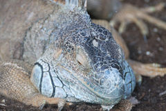 Lizard head Royalty Free Stock Images