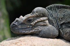 Lizard head Royalty Free Stock Photo