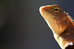 Lizard head Royalty Free Stock Photography