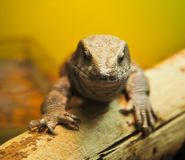 Lizard head close-up royalty free stock photography