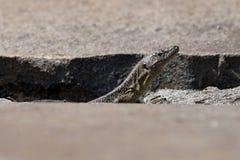 Lizard head Royalty Free Stock Photography