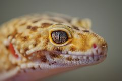 Head from side of common leopard gecko. Lizard Royalty Free Stock Photography