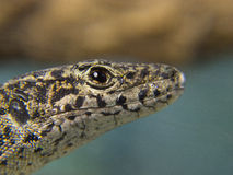 Lizard head in the foreground Stock Images