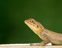 Lizard head and front legs Stock Image