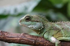 Lizard Head. A green lizard on a branch Stock Photography
