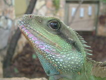 Lizard head. Listened motionless green crested lizard royalty free stock images