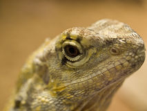 Lizard head macro Royalty Free Stock Photo