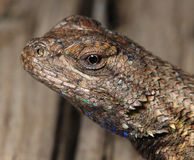 Lizard head macro shot showing eye. In natural setting Royalty Free Stock Photography