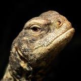 Lizard head at night Stock Photo