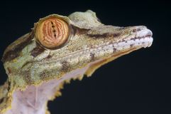 Lizard head / Uroplatus fimbriatus Stock Photos