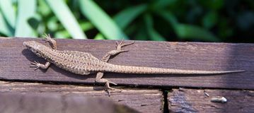 The lizard is heated in the sun. The lizard is heated on the first spring sun Stock Image
