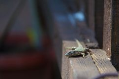 The lizard is heated in the sun. The lizard is heated on the first spring sun Stock Images