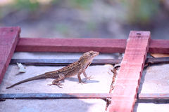 Lizard here Royalty Free Stock Photography