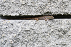A lizard hide in gap of brick wall. Royalty Free Stock Photos