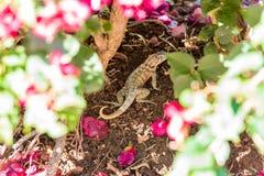 Lizard hides in flowers, Varadero, Matanzas, Cuba. Close-up. Stock Images