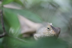 Lizard hiding in a bush Stock Photo
