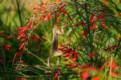 Lizard hiding in firecracker plants royalty free stock photo
