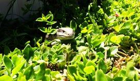 Lizard Hiding in Garden. A Common blue-tongued skink (Tiliqua scincoides) is hiding itself in the green plants in a garden Stock Image