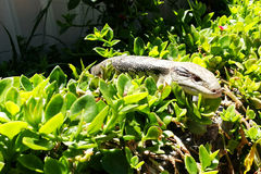 Lizard Hiding in Garden. A Common blue-tongued skink (Tiliqua scincoides) is hiding itself in the green plants in a home garden Royalty Free Stock Images