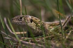 Lizard hiding in the grass royalty free stock photos