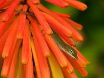Lizard hiding in orange flower. A closeup view of a small lizard or gecko hiding in the petals of a bright orange Fire Poke flower Royalty Free Stock Photography