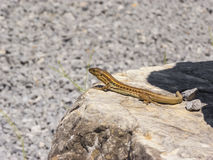 Lizard hiding on the ruins of Ancient Messini, Greece Royalty Free Stock Photo