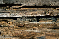Lizard hiding in the trunk of a tree. Royalty Free Stock Photo