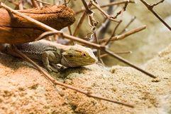 Lizard hiding under branch. Side view of lizard on rocks hiding under branch Royalty Free Stock Photos