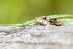 Lizard highlights the paw Stock Photography