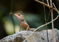 Lizard. In his habitat Royalty Free Stock Image