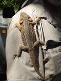 Lizard Hitching a Ride. Central Bearded Dragon clinging to a Park Ranger's shirt Royalty Free Stock Photos
