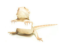 Lizard holding card in hand Royalty Free Stock Images